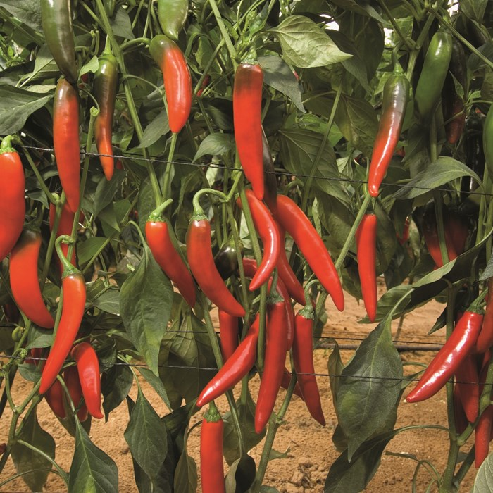 Capsicum big devil6001_low.jpg