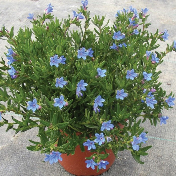 Lithodora  diffusa Heavenly Blue_LOW.jpg