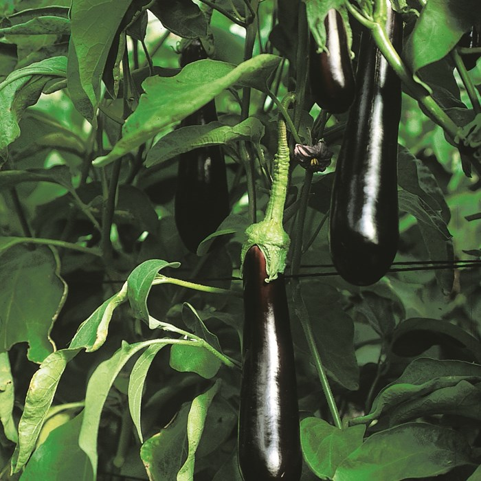 Grafted Aubergine Sultana_LOW.jpg