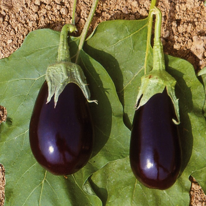 Grafted Aubergine Bonica_LOW.jpg