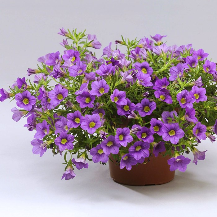 Calibrachoa celeb. blue, Wesviolet_LOW.jpg