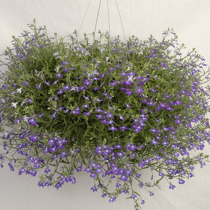 Lobelia Hot Blue_LOW.jpg