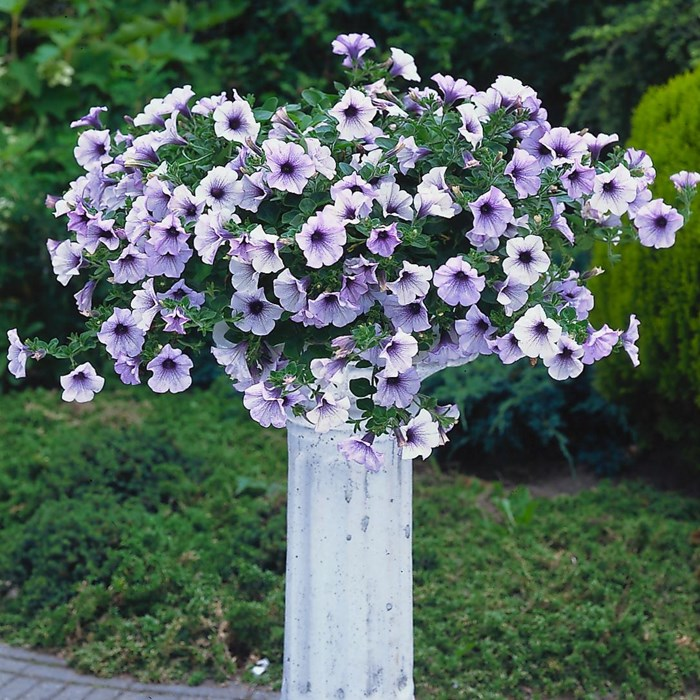 Petunia Surfinia 'Blue Vein'- keiburtel_LOW.jpg