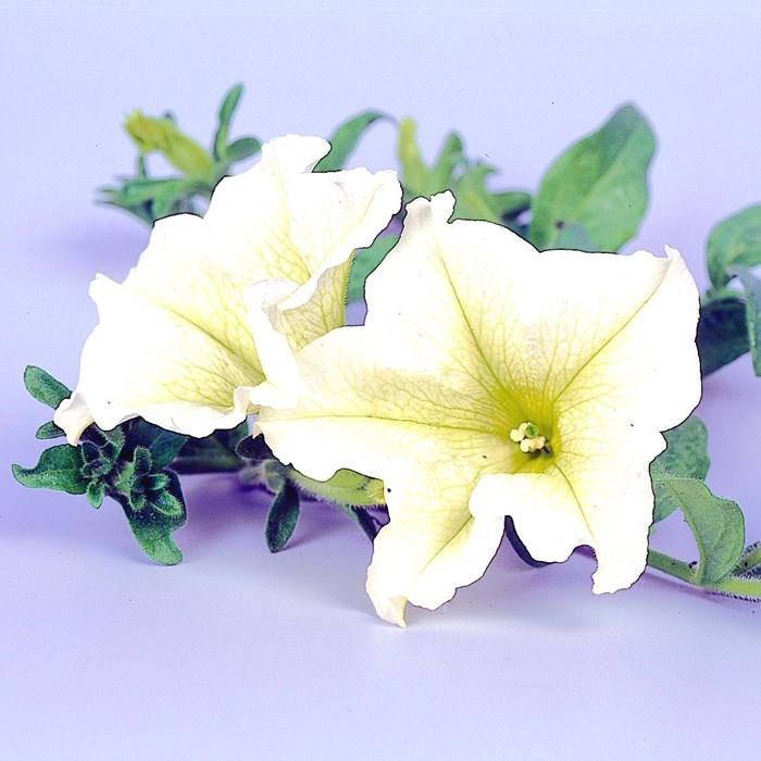 Petunia Surfinia 'Lime'_LOW.jpg