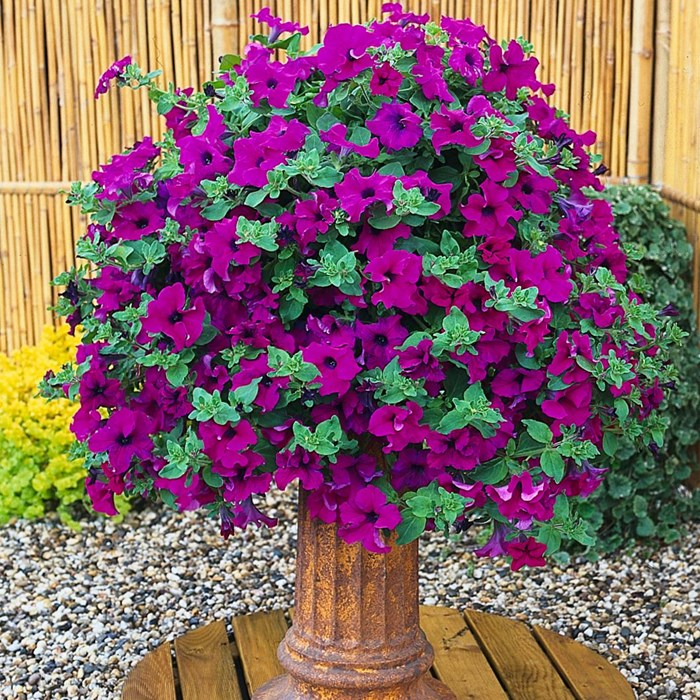 Petunia Surfinia 'Giant Purple'- sunlapur_LOW.jpg