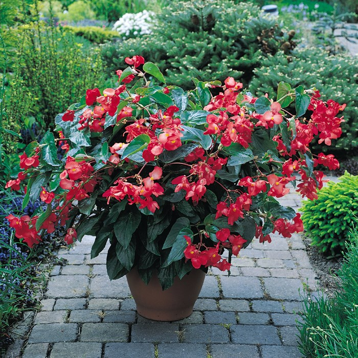 Begonia 'Dragon Wings' Red_LOW.jpg