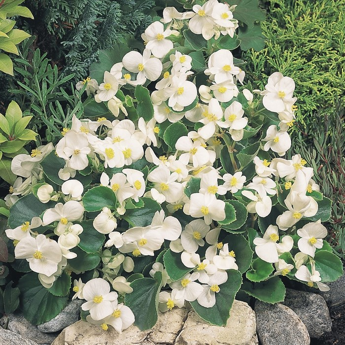 Begonia 'Super Olympia White'_LOW.jpg