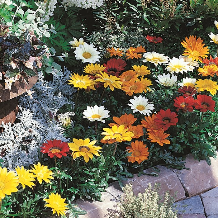 Gazania Gazoo Mix_LOW.jpg