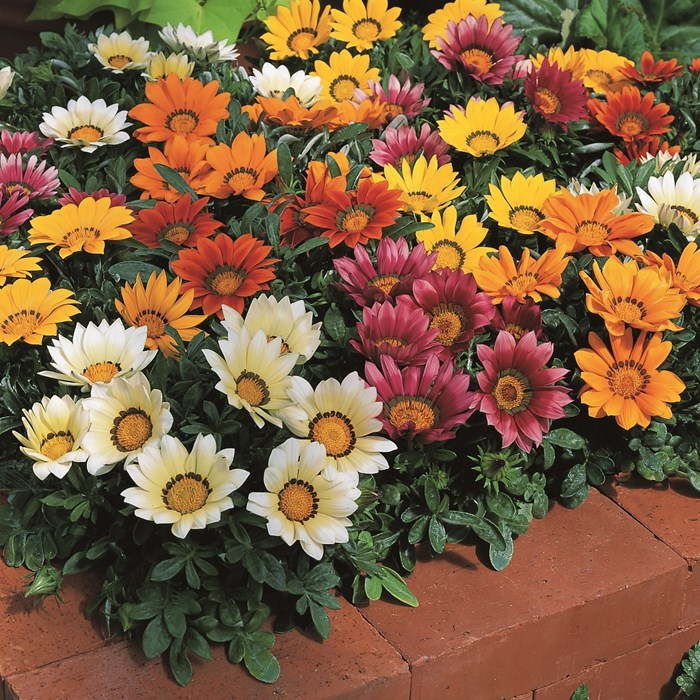 Gazania Kiss Mix_LOW.jpg