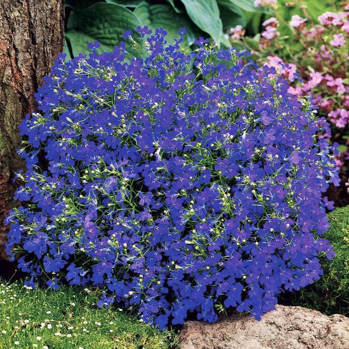 Lobelia Moon Blue_LOW.jpg