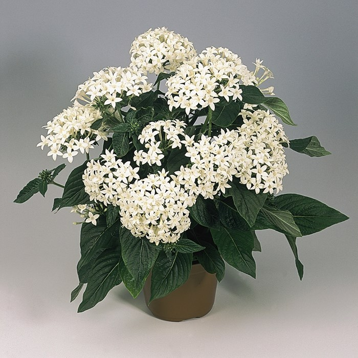 Pentas 'Graffiti White' 2_LOW.jpg