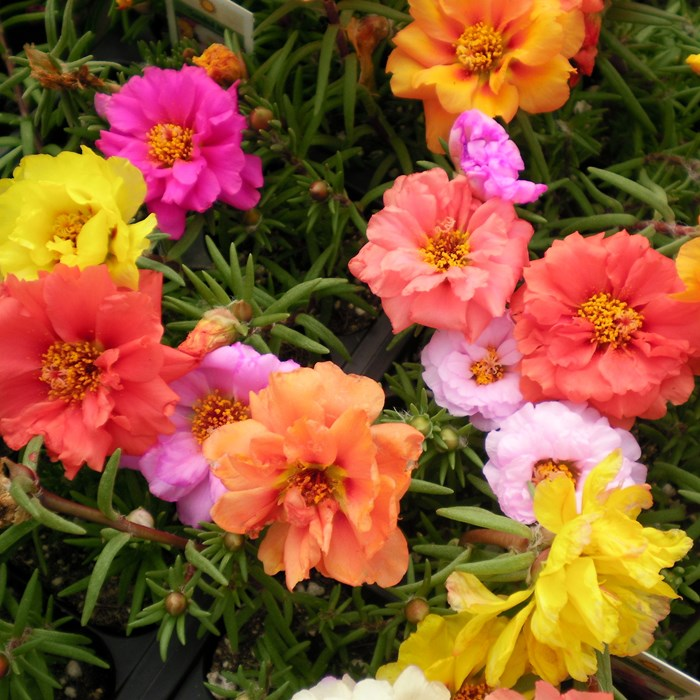Portulaca happy hour mix_LOW.jpg