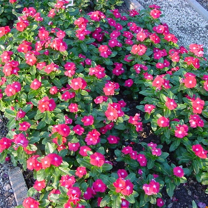 Vinca Pacifica Cherry_LOW.jpg