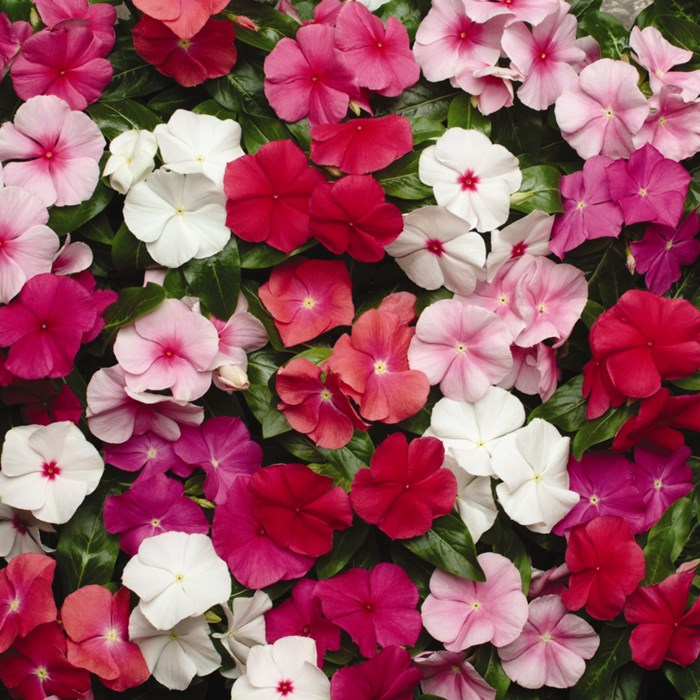 Vinca Pacifica Imp Mix.jpg