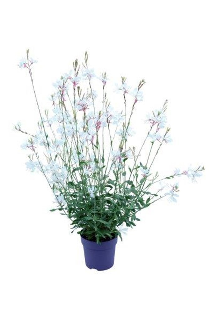 Gaura Summer Star White (1).jpg