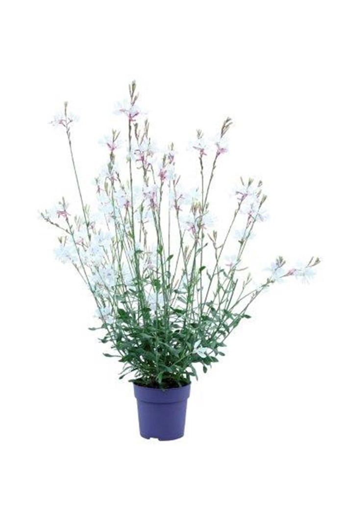 Gaura Summer Star White (3).jpg