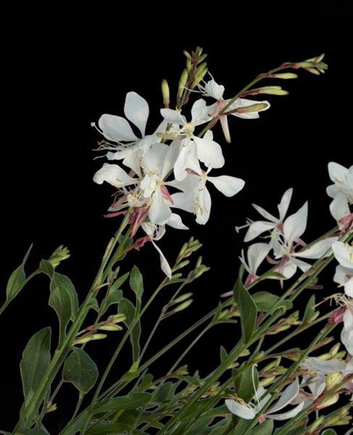Gaura Summer Star White (5).jpg (1)