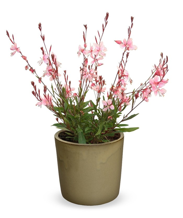 Gaura Lindheimeri 'Cherry Brandy' (Gauchebra) copy.jpg