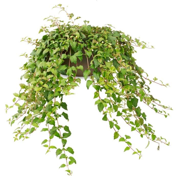Lippia Dulcis GrowFlow™ Organic