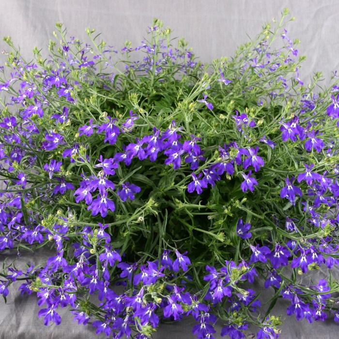 Lobelia Hot Blue.jpg