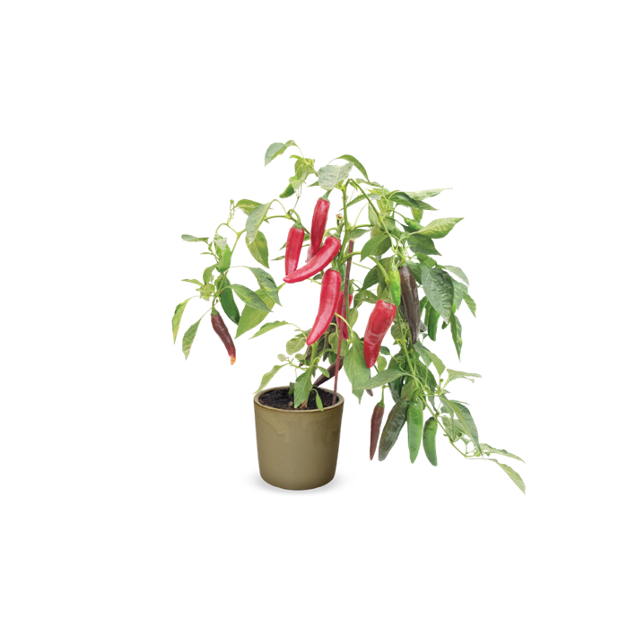 מוצרים ג'ננה_Grafted 'Big Devil' (Chili).png